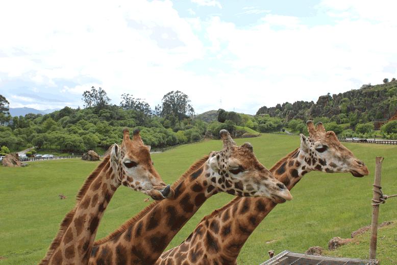 Cabárceno-jirafa-(6)