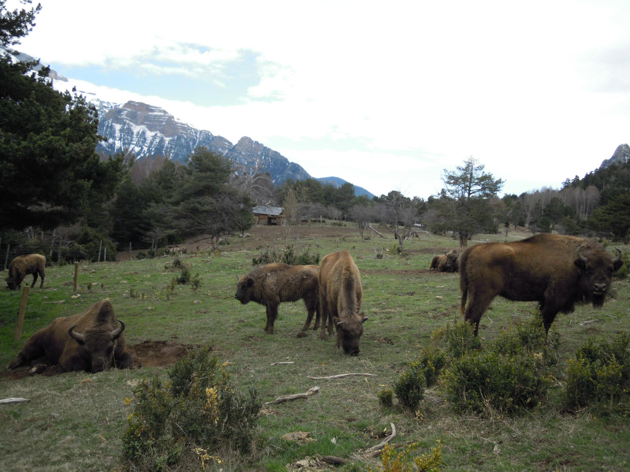 La cuniacha-bisontes